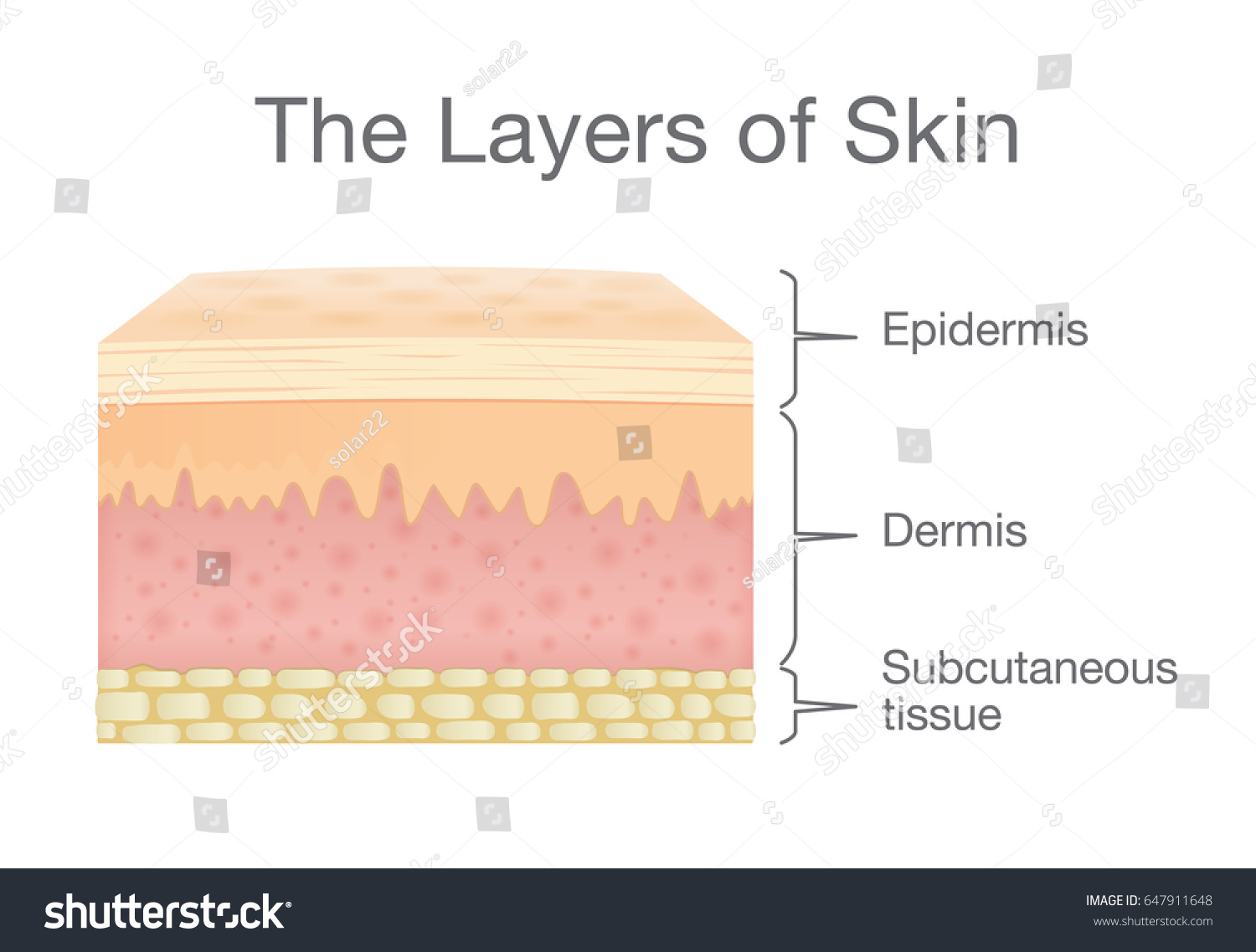 hight resolution of the layer of human skin in vector style and components information illustration about medical and