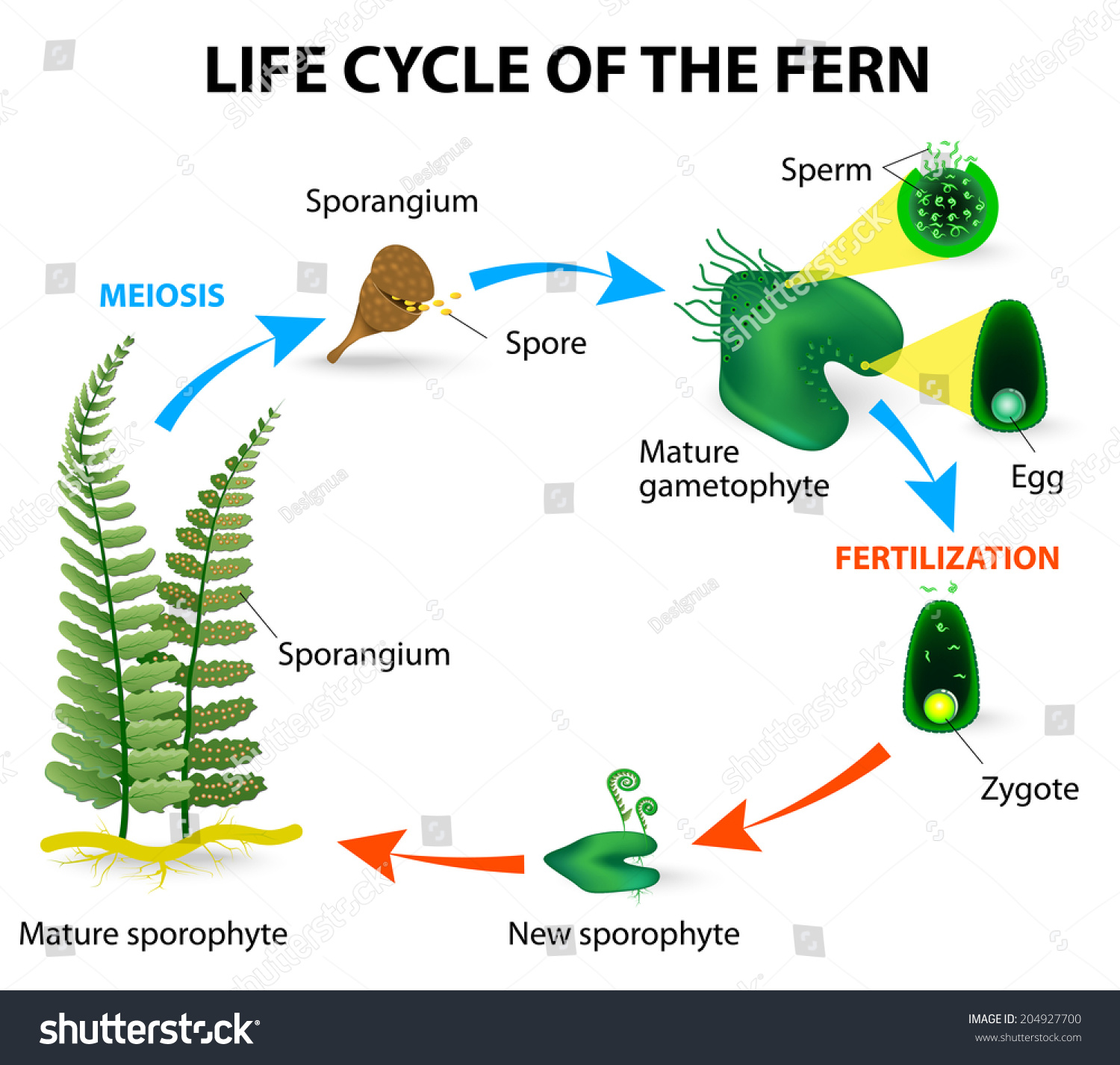 The Life Cycle Of Ferns Is Different From Other Land