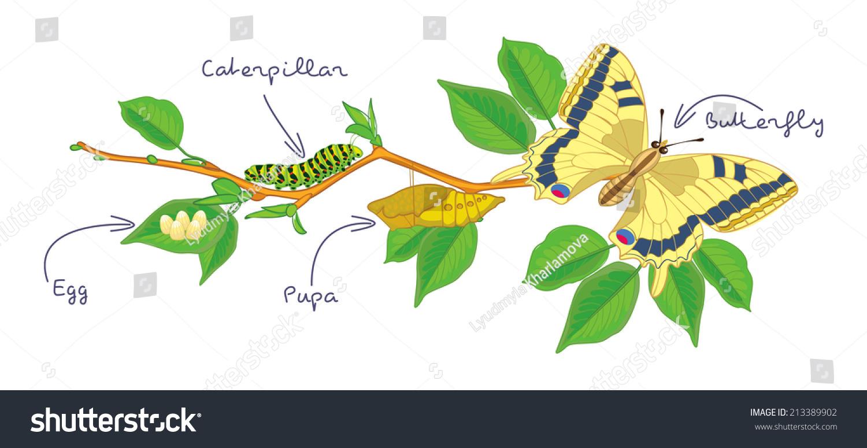 Metamorphosis Butterfly Egg Caterpillar Pupa Butterfly