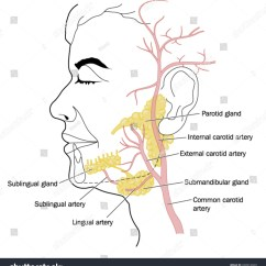 Facial Lymph Nodes Diagram Dual Coil Subwoofer Wiring Salivary Glands Blood Vessels Neck Face Stock Vector