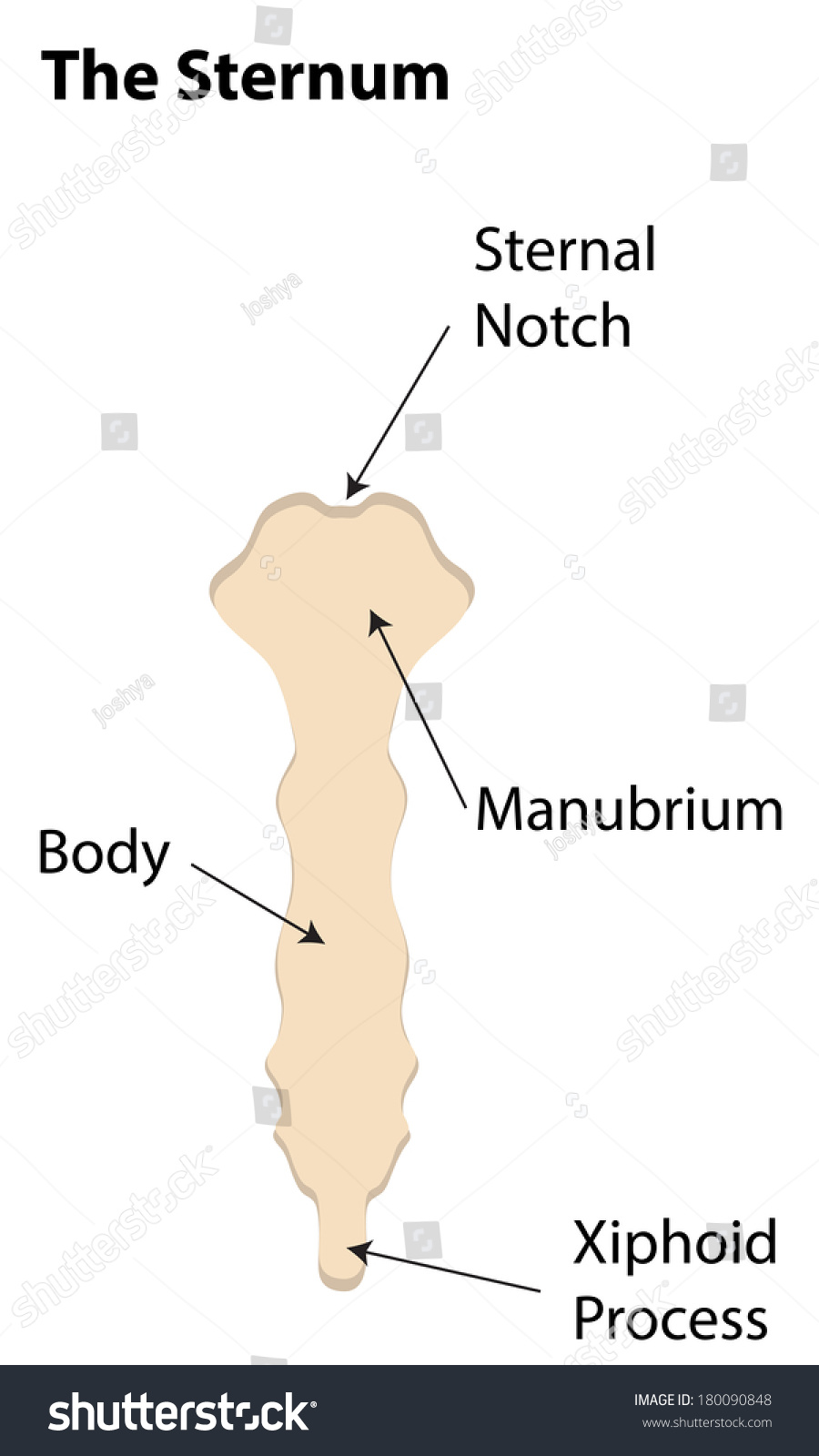 hight resolution of the sternum labeled diagram