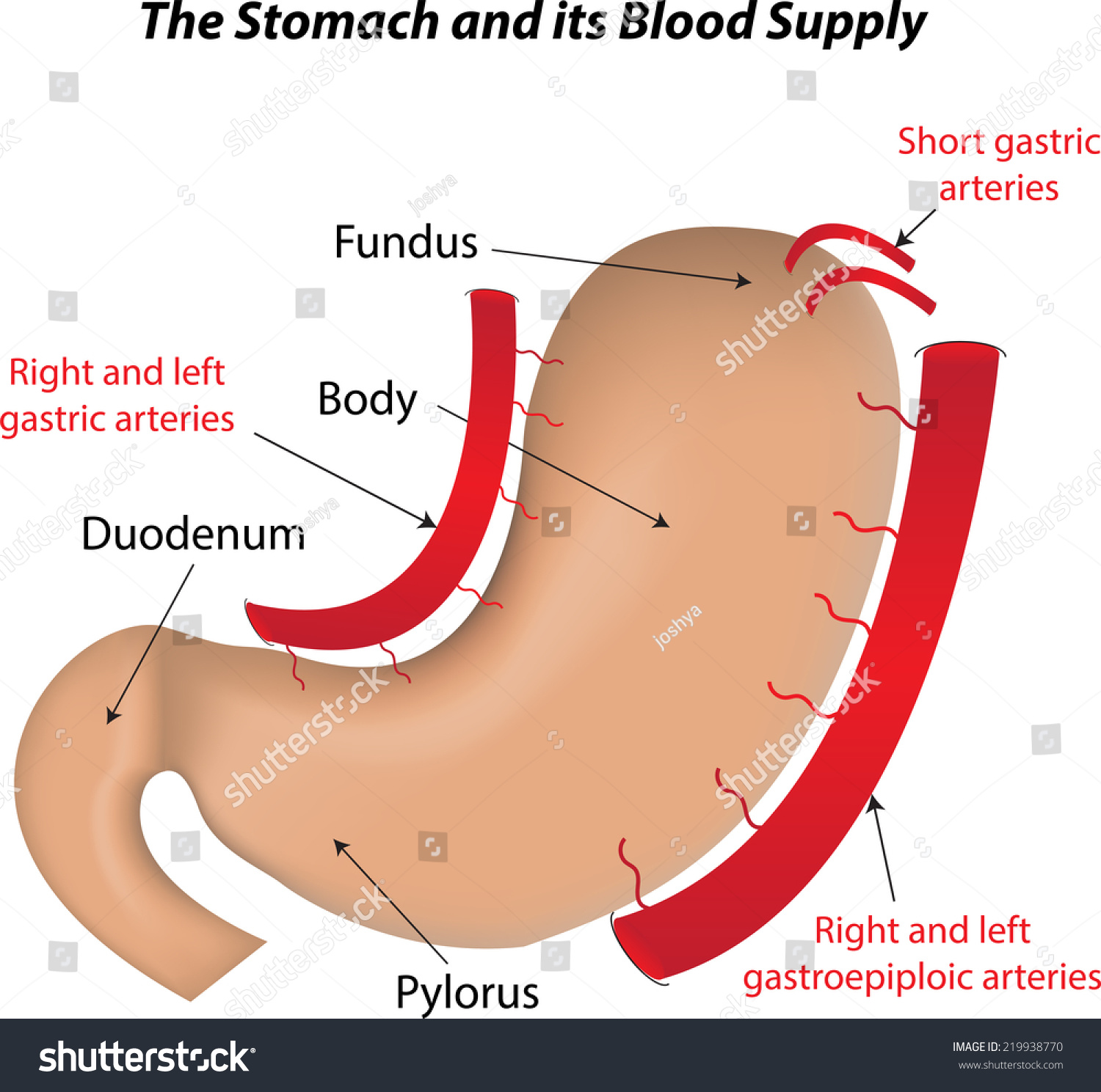 labeled diagram of abdominal vasculature convert external regulator alternator internal wiring stomach blood supply stock vector