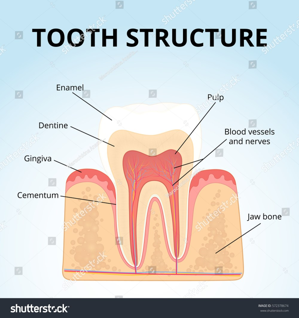 medium resolution of the structure of human teeth medical diagram of the structure of the inside cross section of the tooth