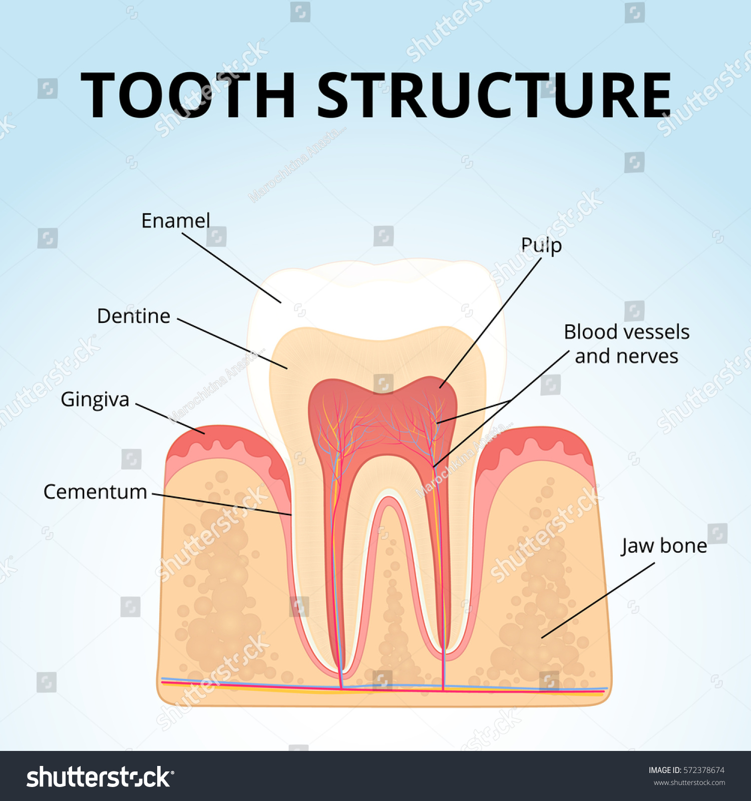 hight resolution of the structure of human teeth medical diagram of the structure of the inside cross section of the tooth