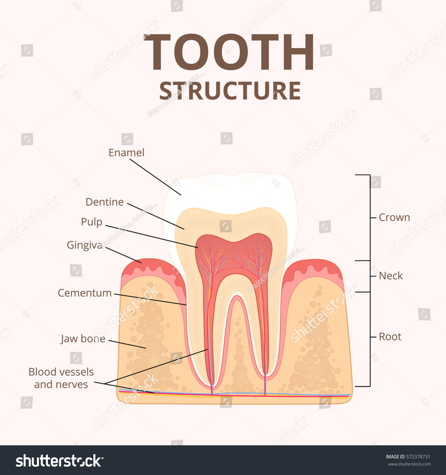 diagram of a bone inside er for billing system structure human teeth medical stock vector the cross