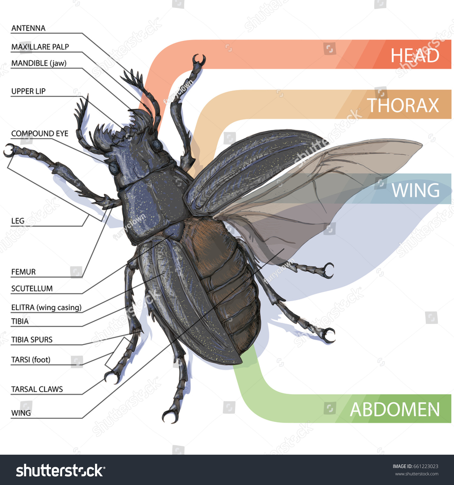hight resolution of the structure of the beetle vector diagram