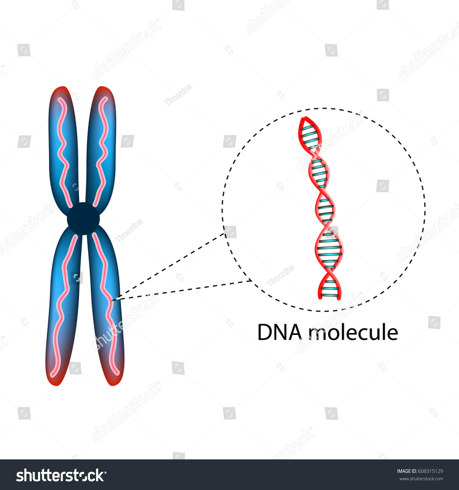 Structure Chromosome Structure Dna Molecule Infographics Stock Vector