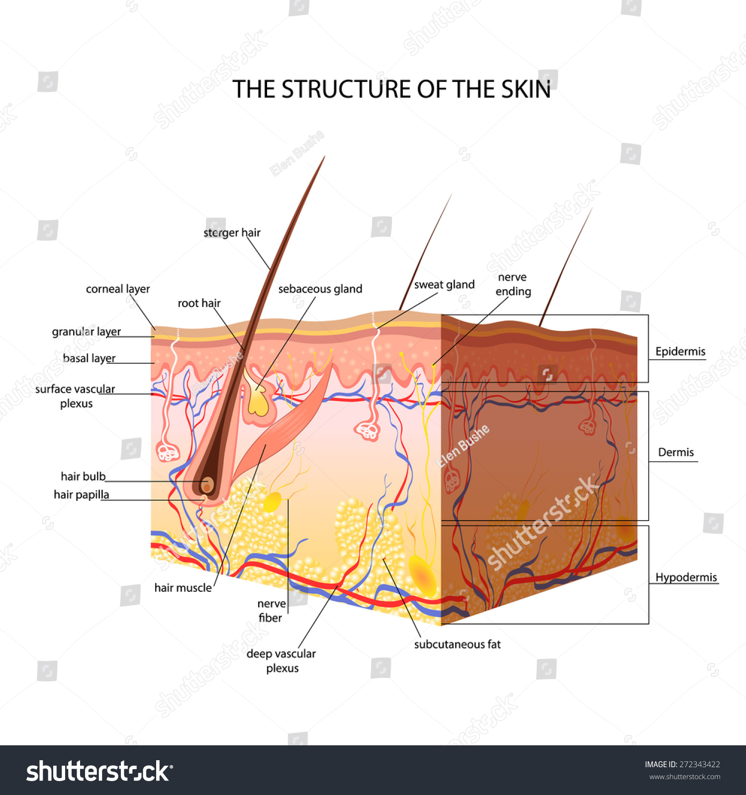 Structure Skin Stock Vector