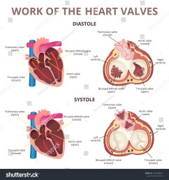 the work of heart valves anatomy of the human heart diastole and systole  [ 1500 x 1600 Pixel ]