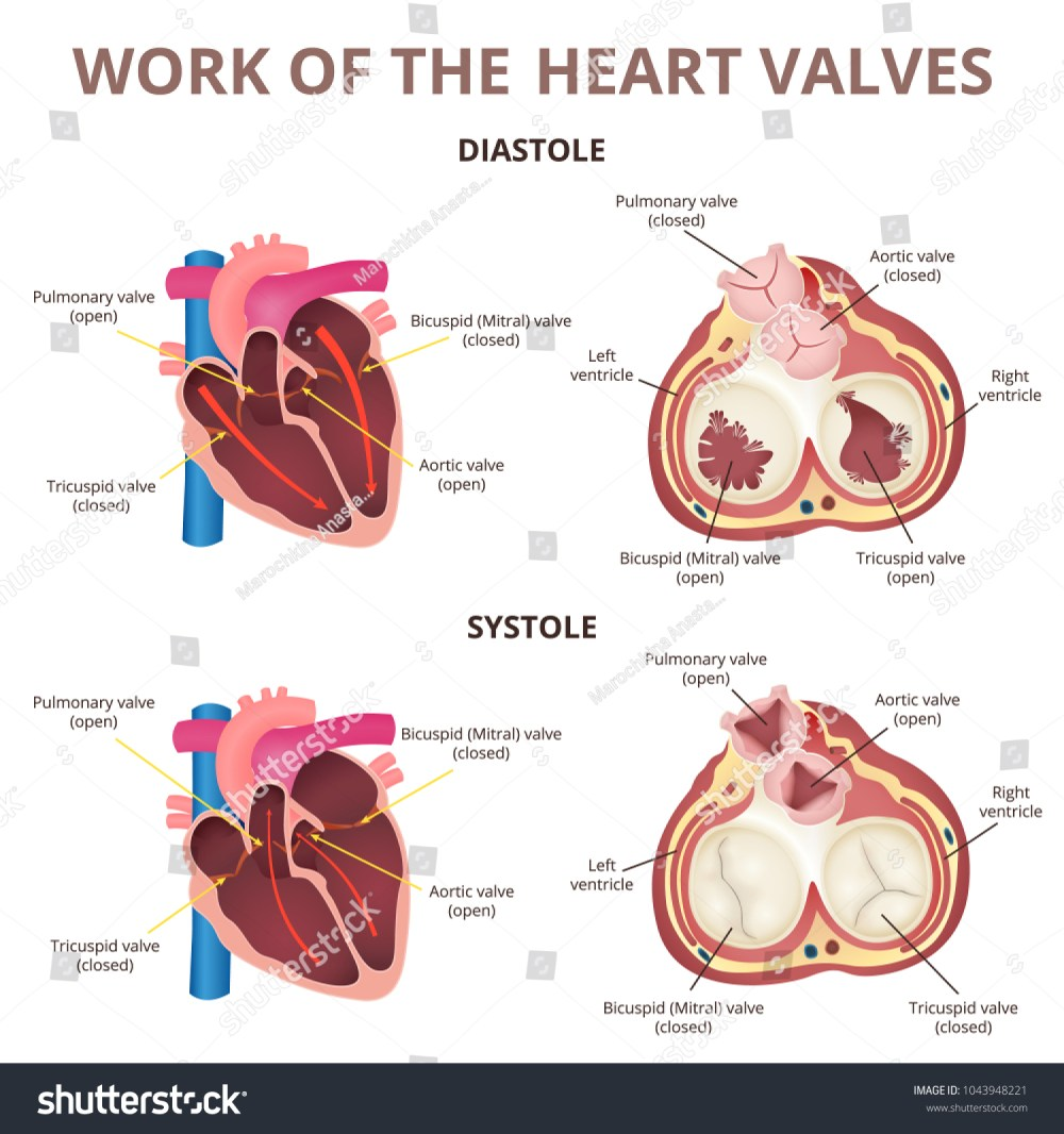medium resolution of the work of heart valves anatomy of the human heart diastole and systole