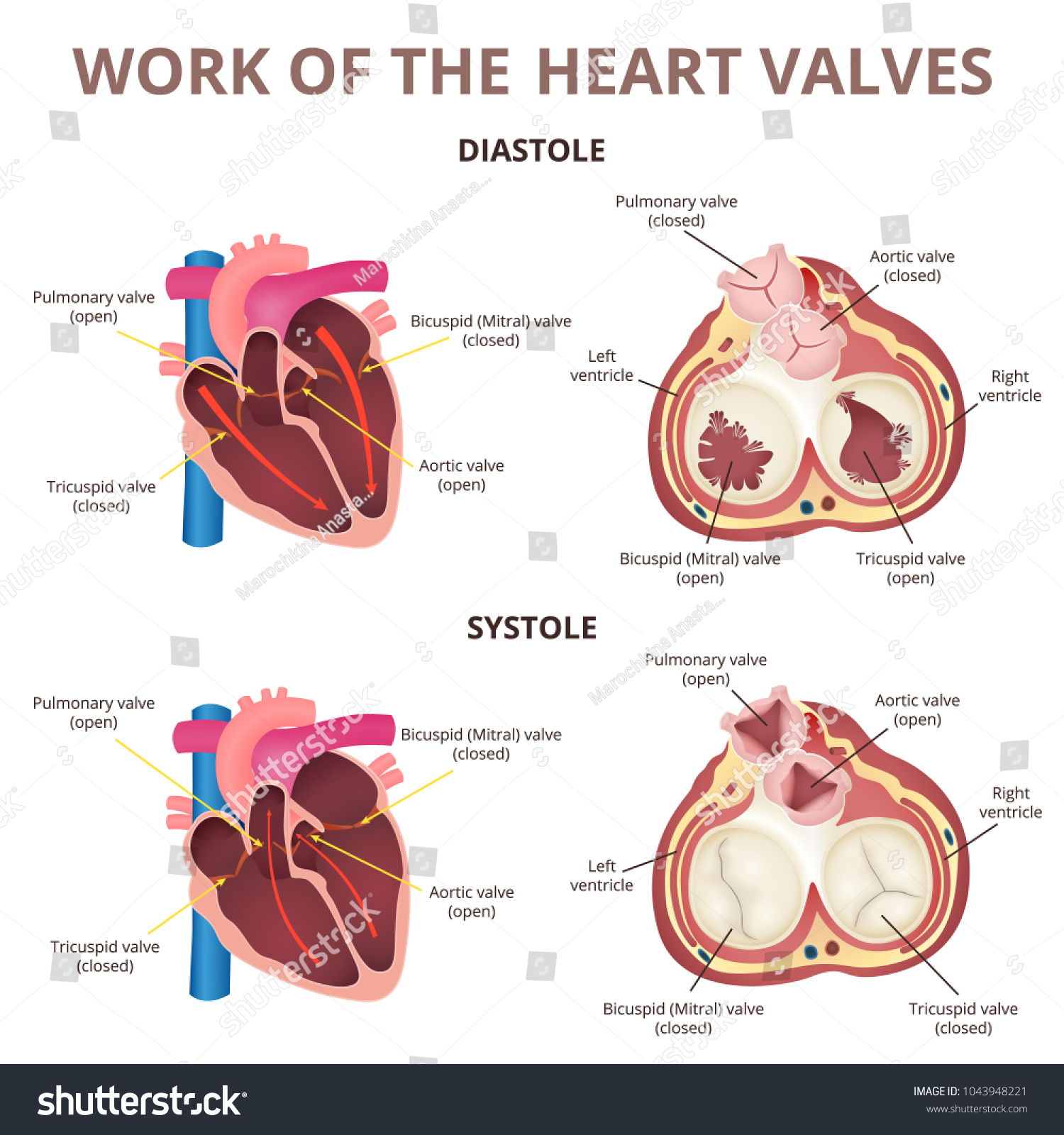 hight resolution of the work of heart valves anatomy of the human heart diastole and systole