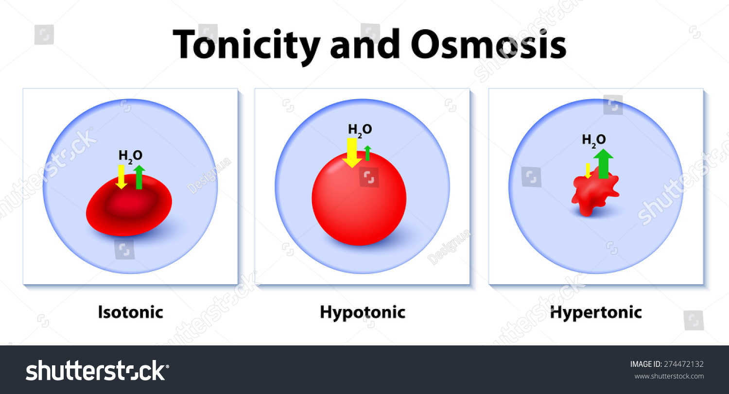 This Diagram Shows Effects Hypertonic Hypotonic Stock