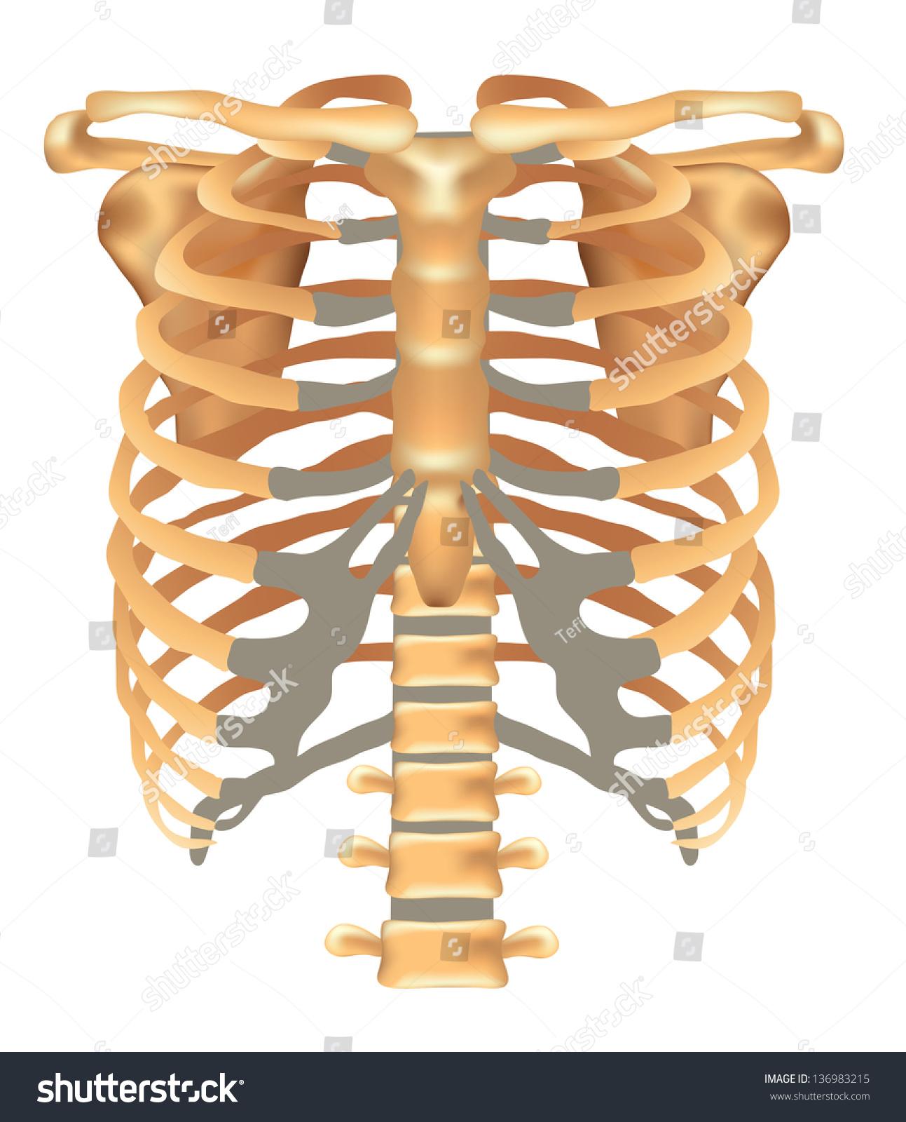 clavicle and scapula diagram venn fiction vs nonfiction thorax ribs sternum vertebral stock