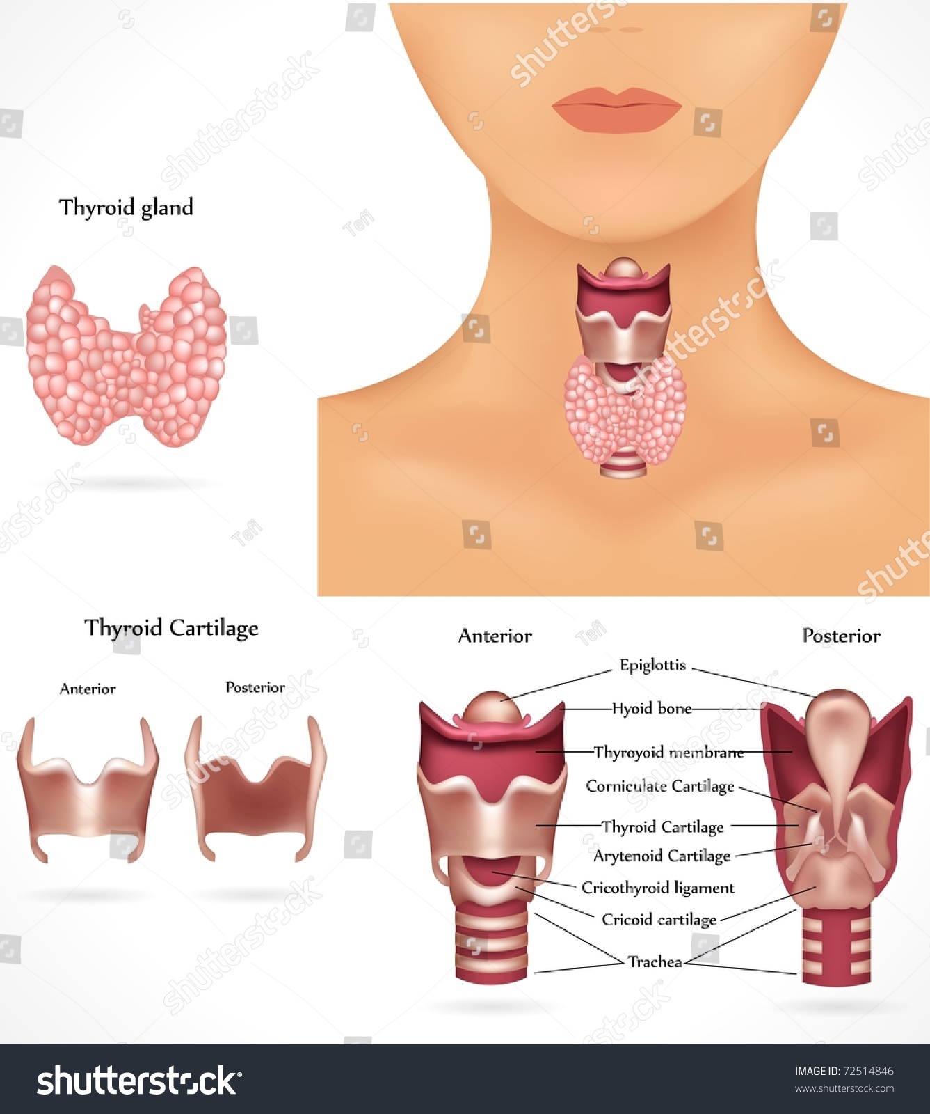 Thyroid Gland, Epiglottis, Trachea. Detailed Anatomy. Stock Vector 72514846 : Shutterstock