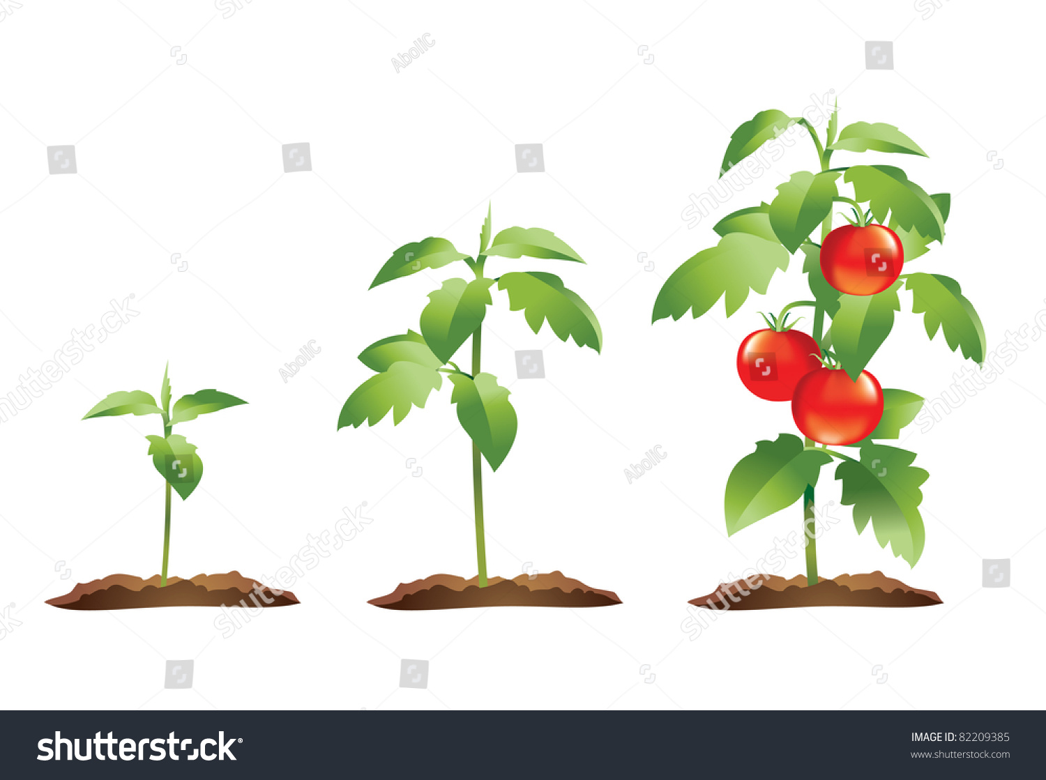 Tomato Plant Growth Cycle Stock Vector