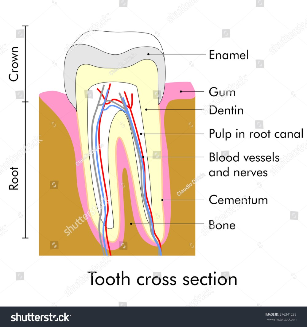 medium resolution of tooth cross section showing teeth anatomy