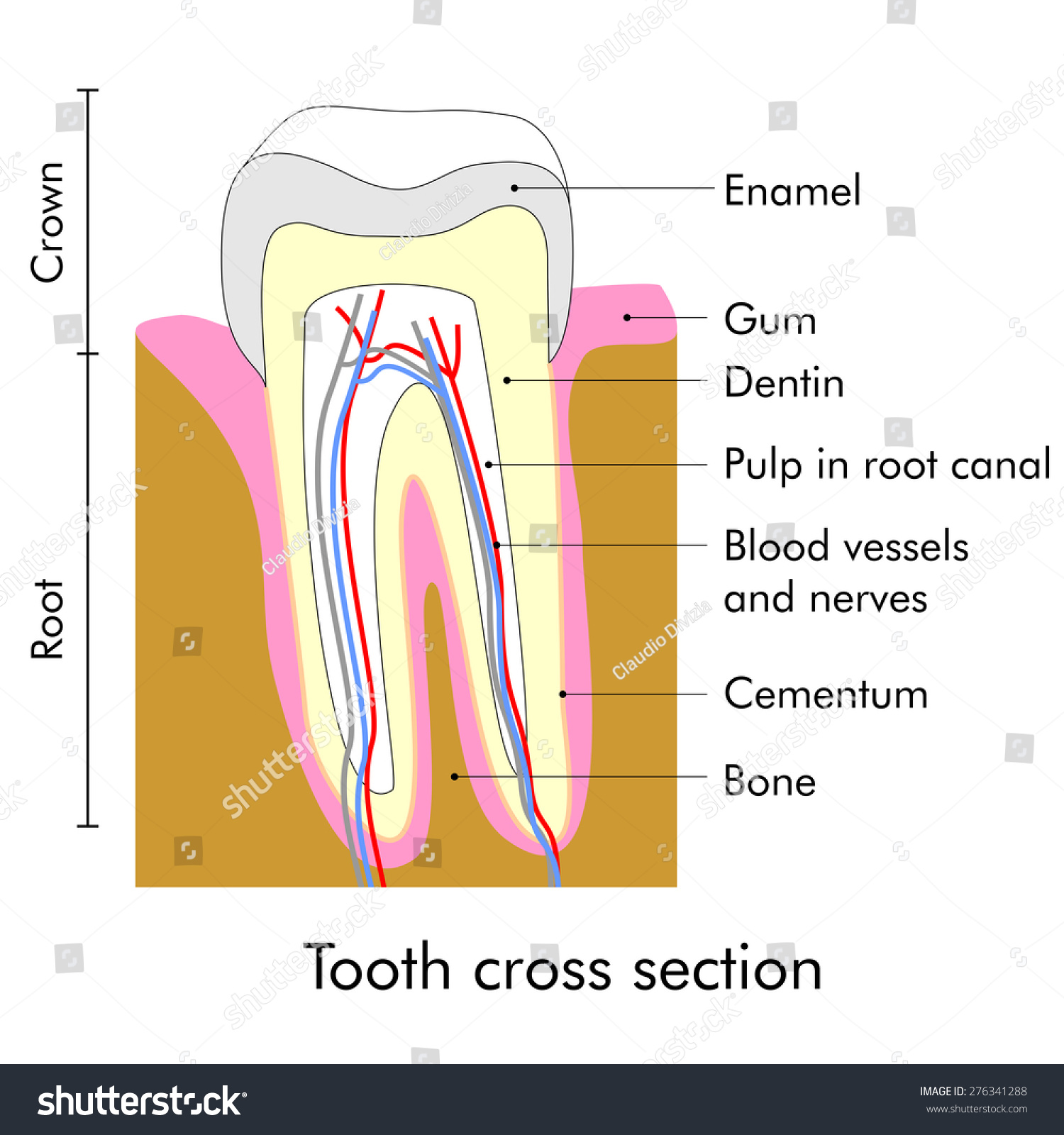 hight resolution of tooth cross section showing teeth anatomy
