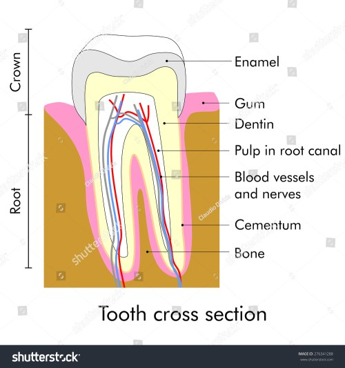 small resolution of tooth cross section showing teeth anatomy