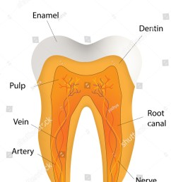 tooth labeled diagram stock vector royalty free 183493724 rh shutterstock com tooth anatomy diagram tooth anatomy diagram [ 1098 x 1600 Pixel ]