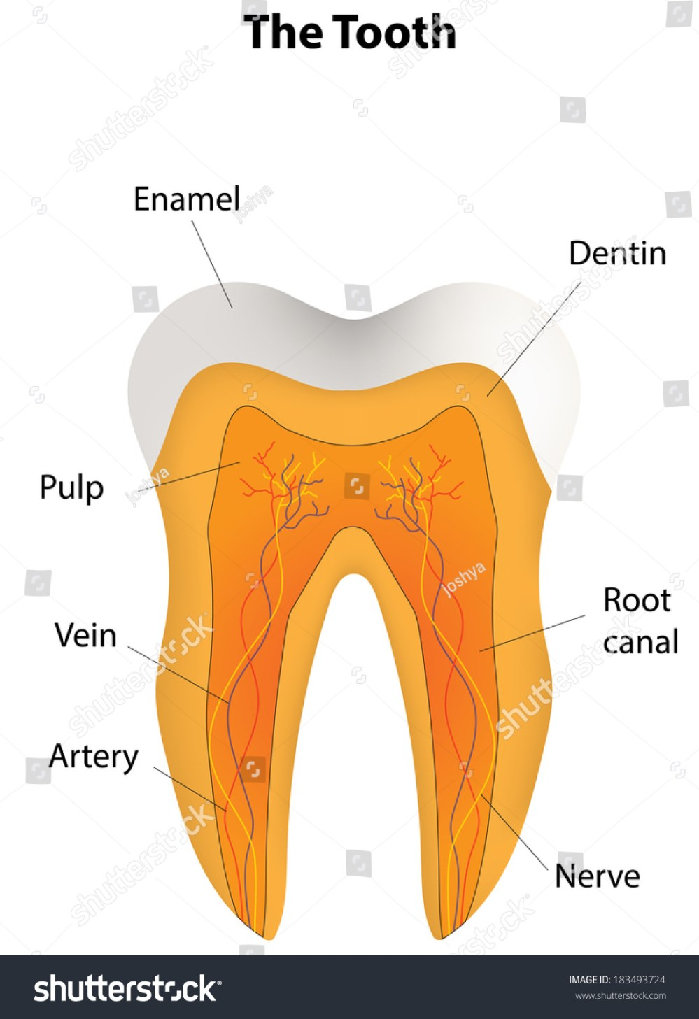 medium resolution of tooth labeled diagram stock vector royalty free 183493724 rh shutterstock com tooth anatomy diagram tooth anatomy diagram