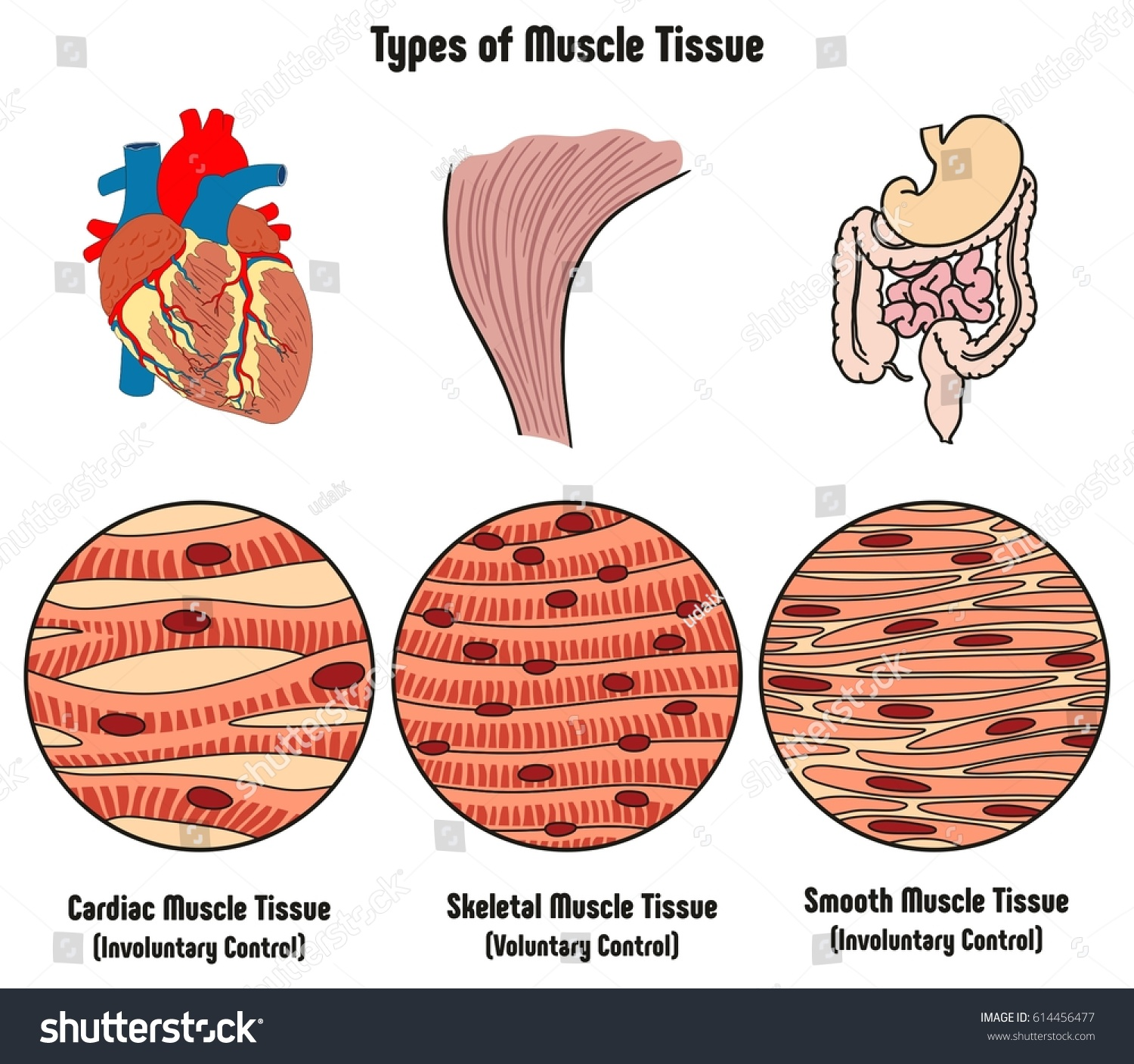 Types Muscle Tissue Human Body Diagram Stock Vector