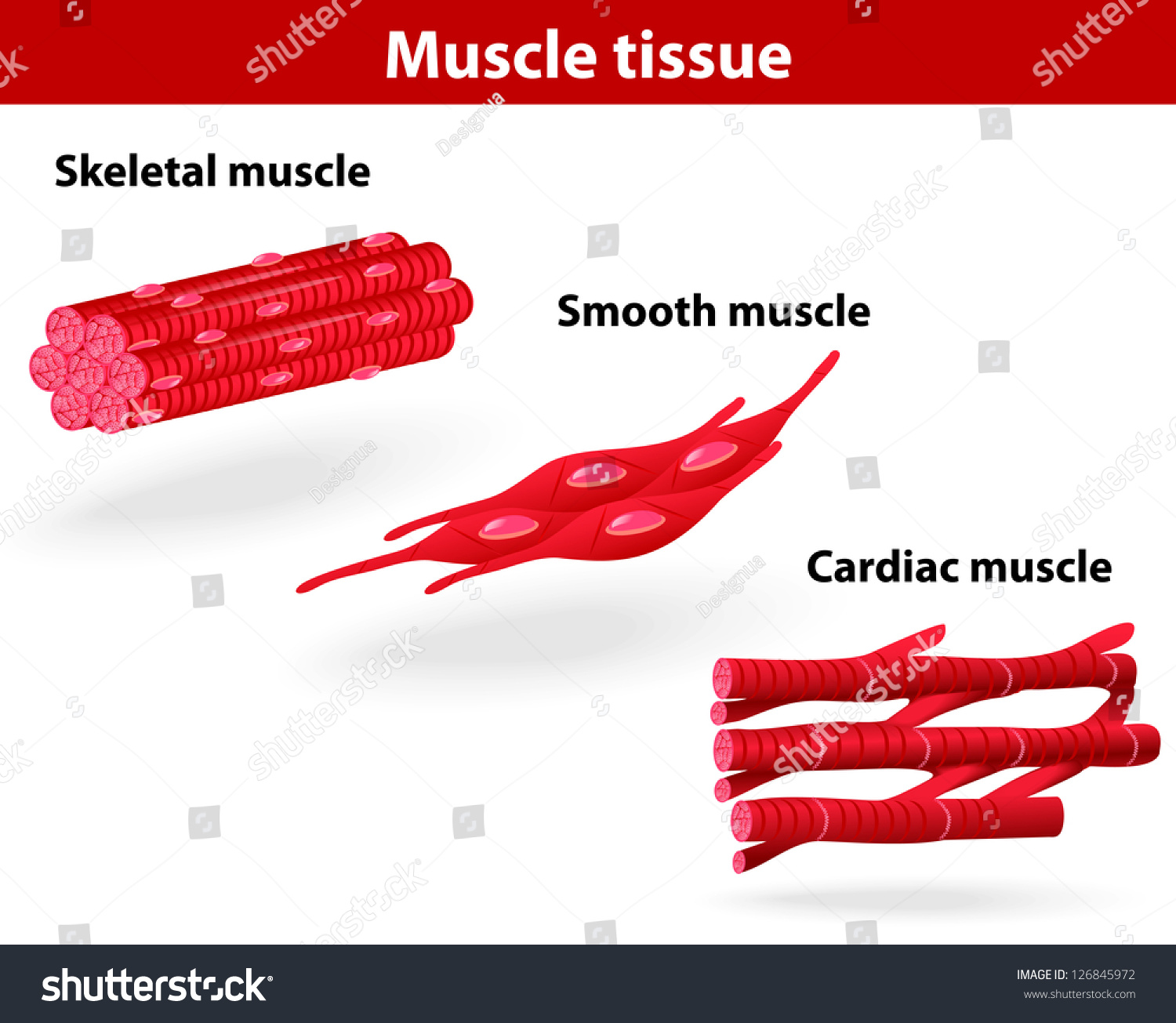 cardiac muscle tissue diagram labeled yamaha g2 gas wiring types skeletal smooth stock vector
