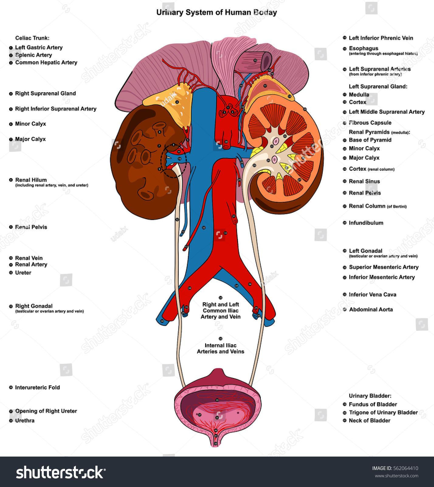 Urinary Renal System Human Body Anatomy Stock Vector