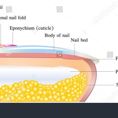 Diagram Of Human Nail Phase Change Oxygen Vector Detailed Anatomy On White Stock