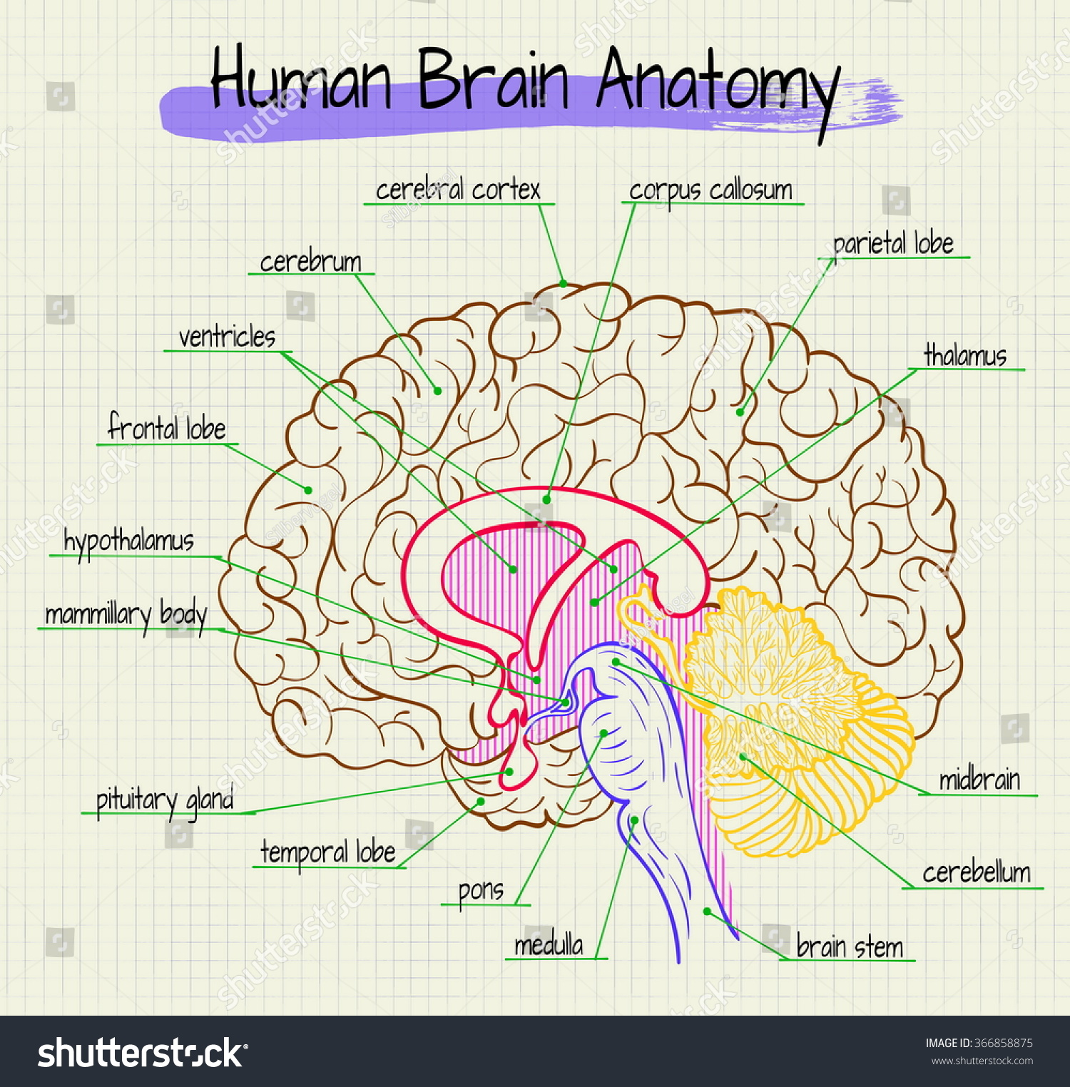 hight resolution of vector diagram of anatomy of the human brain side view