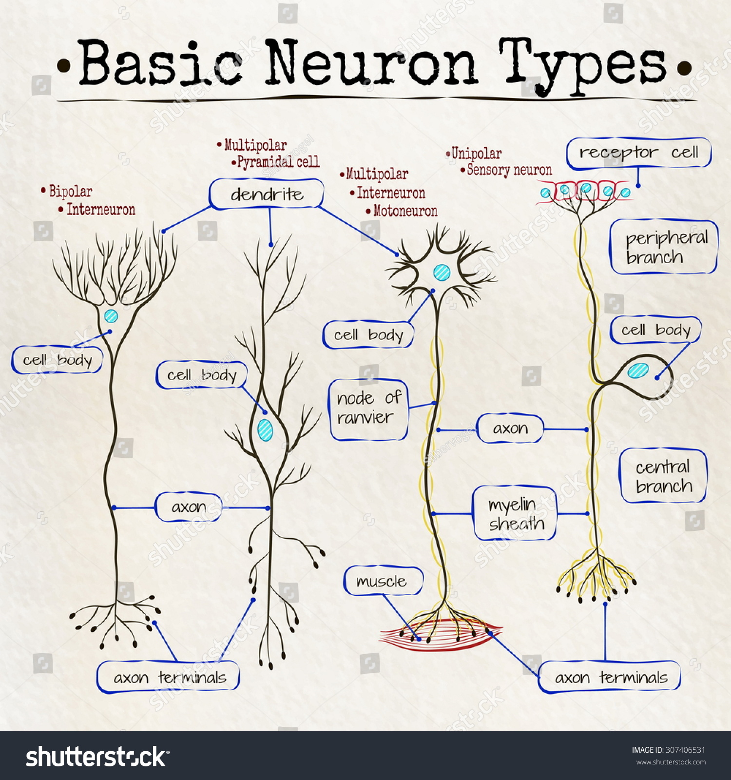basic neuron diagram obd2 to obd1 wiring vector drawing types neurons stock 307406531