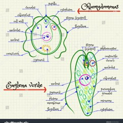 Euglena Cell Diagram With Labels Chinese Electric Scooter Wiring Vector Drawing Structure Chlamydomonas Stock Royalty Of The And