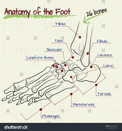 vector drawing of the structure of the human foot [ 1500 x 1600 Pixel ]