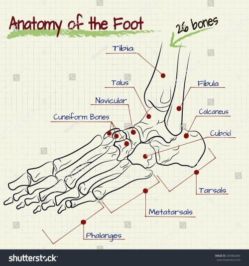small resolution of vector drawing of the structure of the human foot
