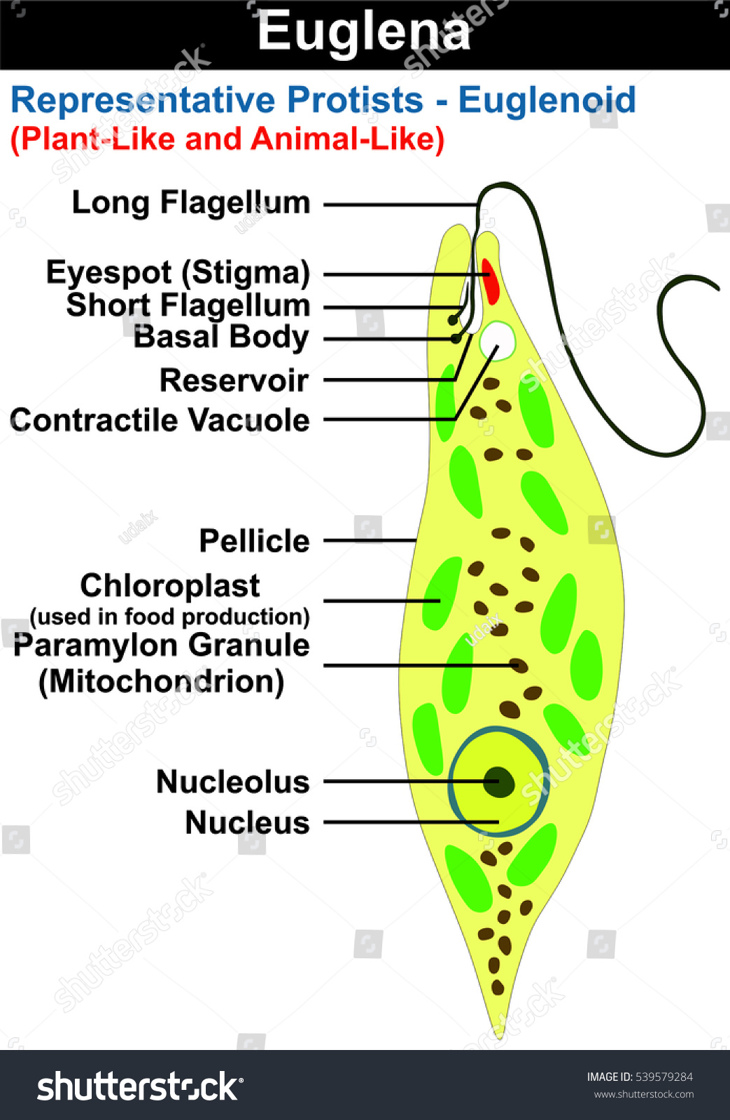 euglena cell diagram with labels 12v air compressor wiring vector cross section representative stock