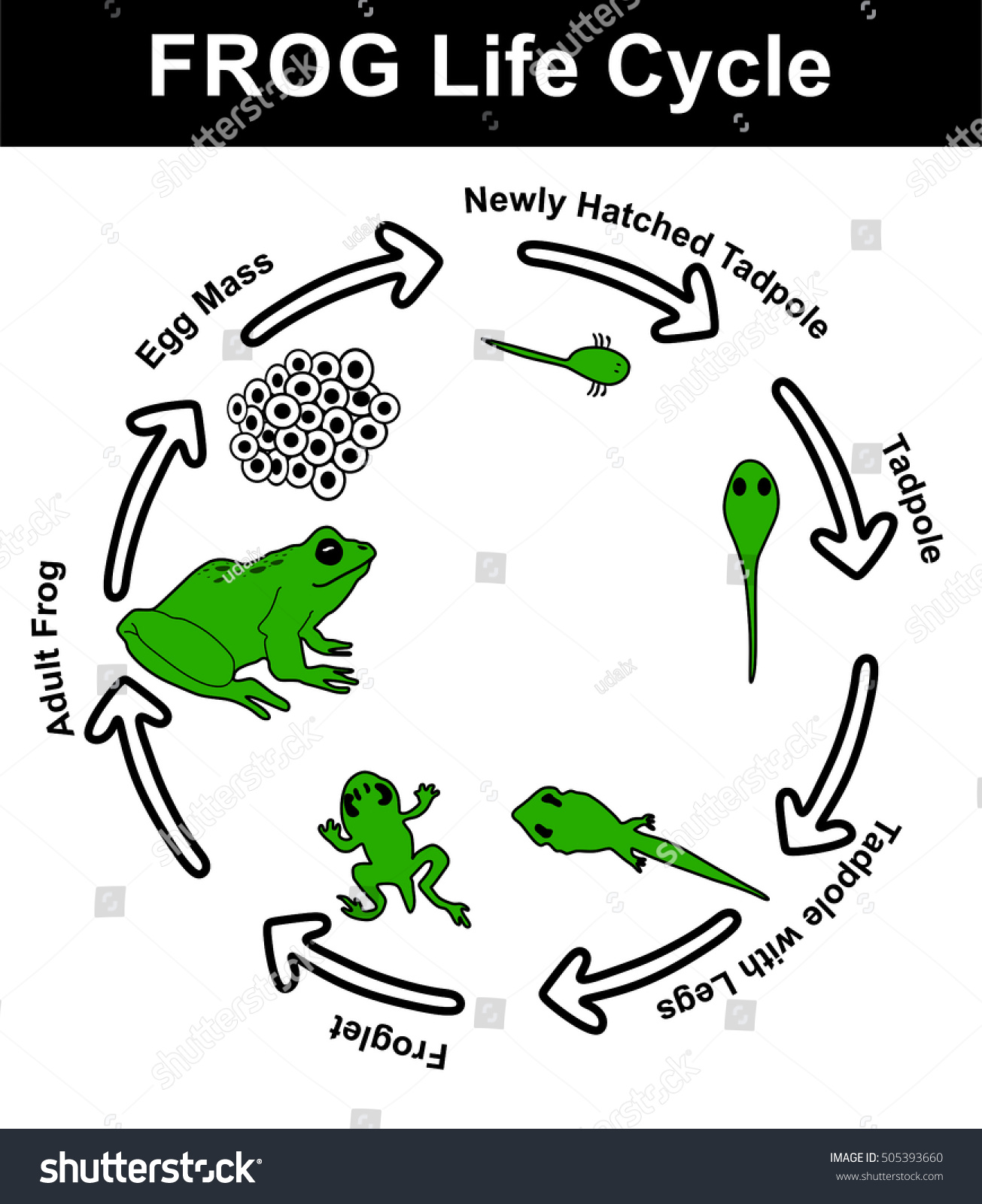Vector Frog Life Cycle All Stages Stock Vector