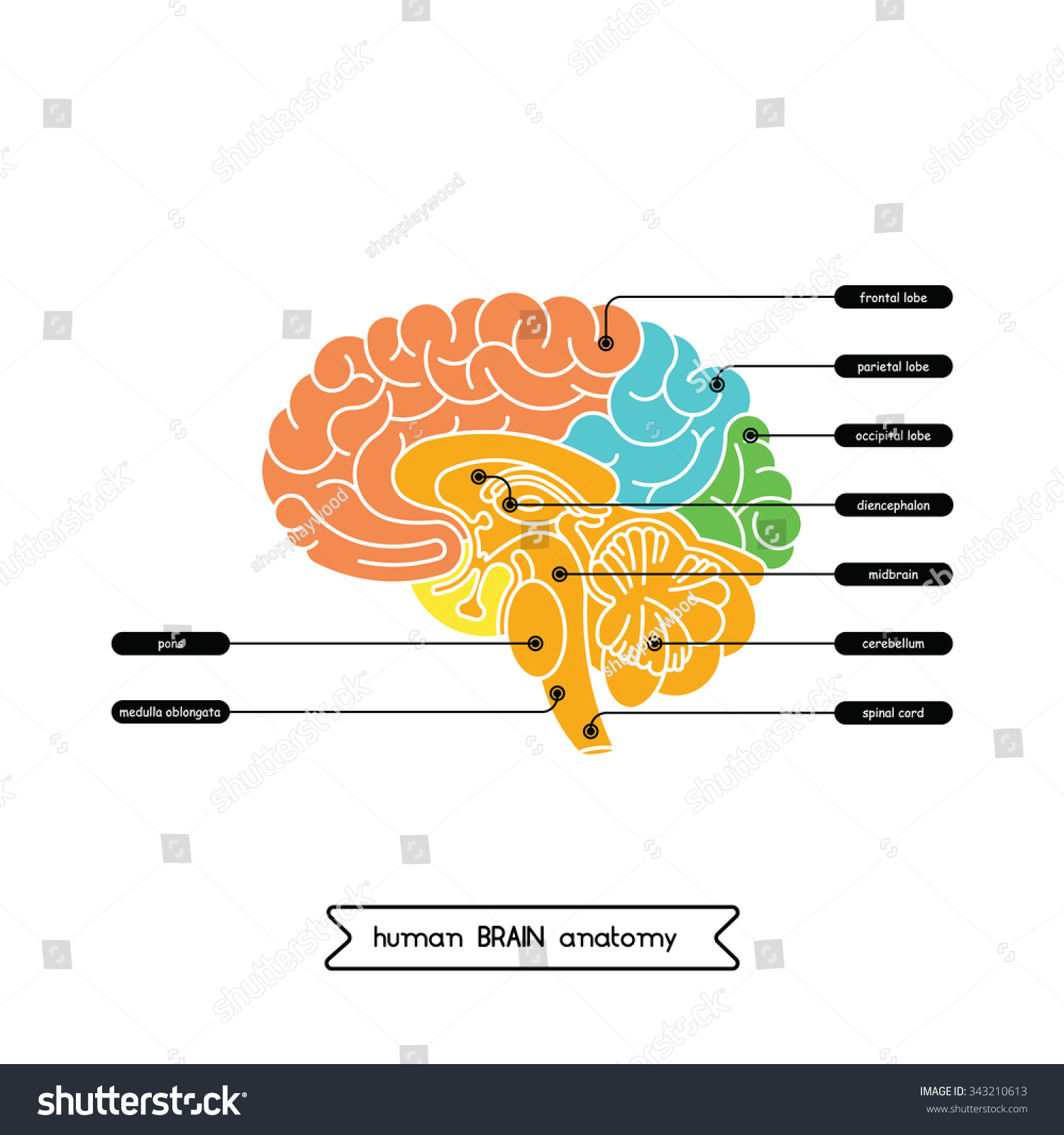brain cross section diagram wiring for one way light switch vector human isolated