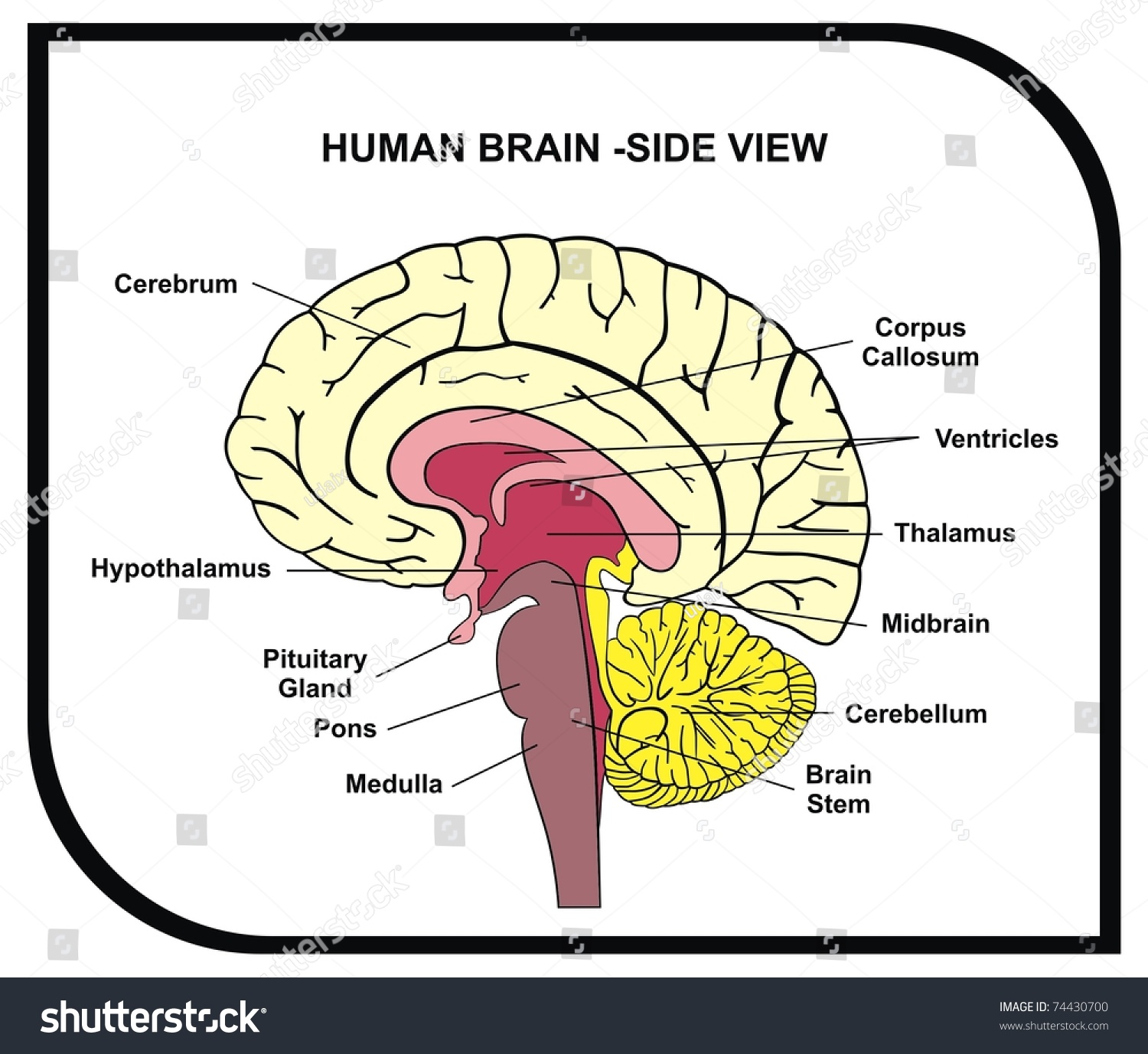 human brain diagram sagittal origami eagle a cat plays fetch therewasanattempt