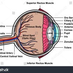 Human Eye Parts Diagram Redarc Wiring Diagrams Vector Cross Section Anatomy Stock Royalty Free With All Anatomical Structure Artery Vein Nerve