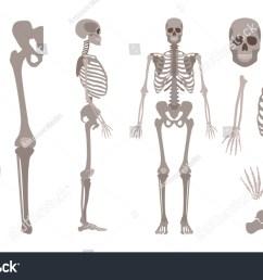 vector human skeleton parts set human body bones scientific and anatomical mockup for education  [ 1500 x 1006 Pixel ]