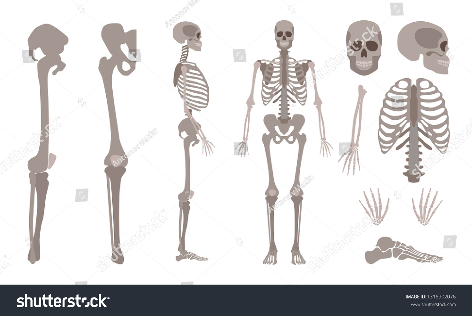 hight resolution of vector human skeleton parts set human body bones scientific and anatomical mockup for education