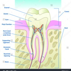 Tooth Diagram With Label Led Light Bar Rocker Switch Wiring Vector Illustrated Cross Section Labels