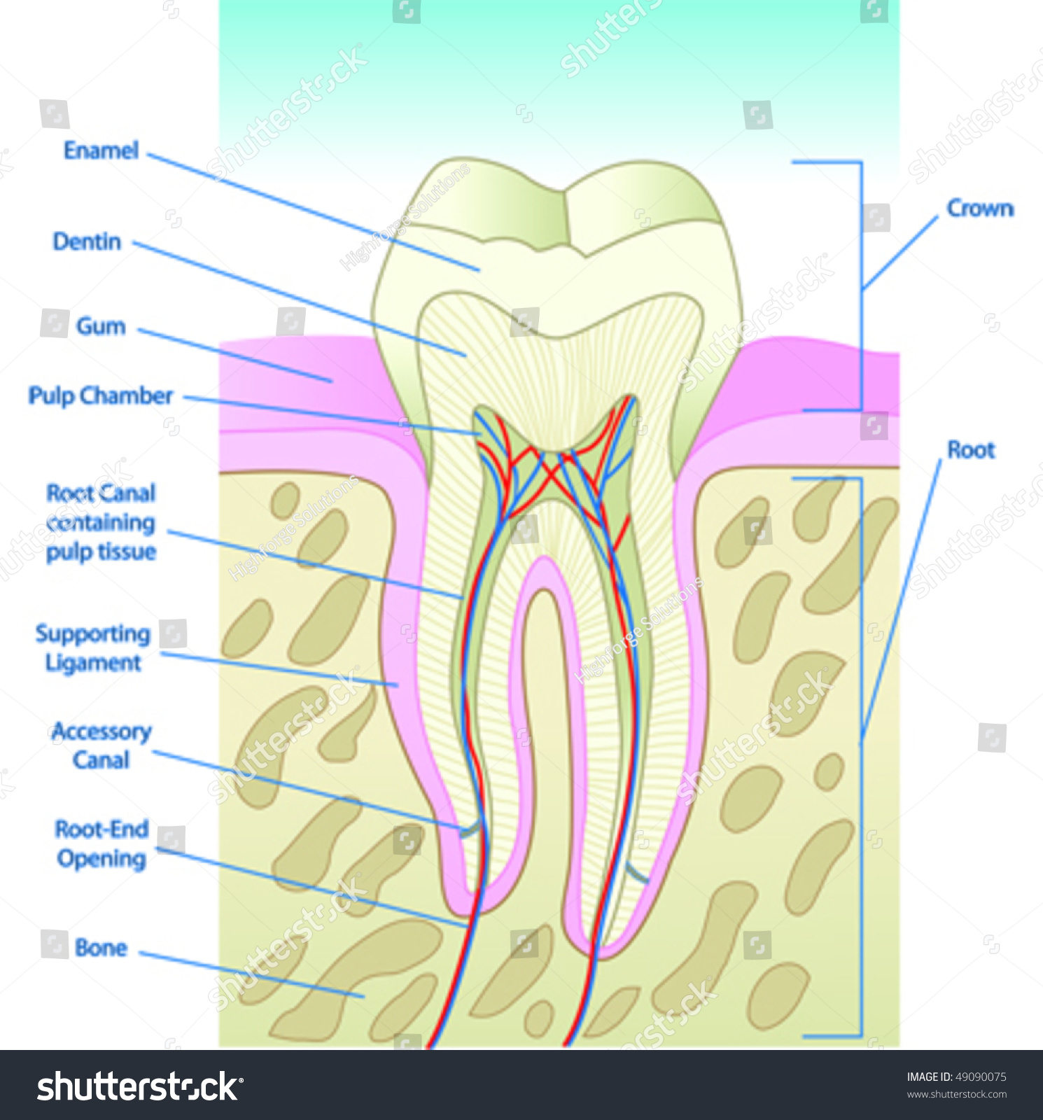 hight resolution of vector illustrated tooth diagram cross section with labels