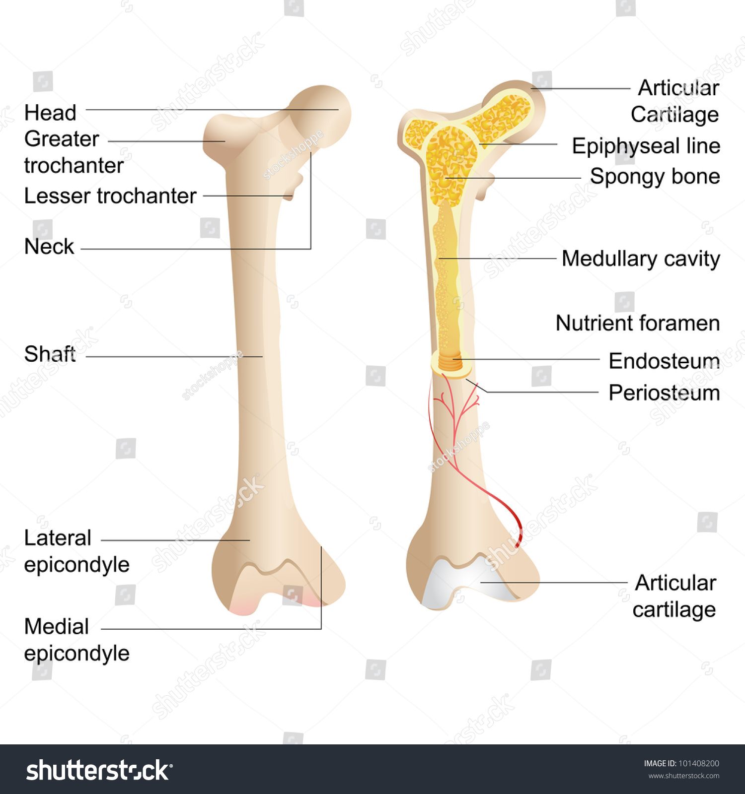 Vector Illustration Of Diagram Of Human Bone Anatomy
