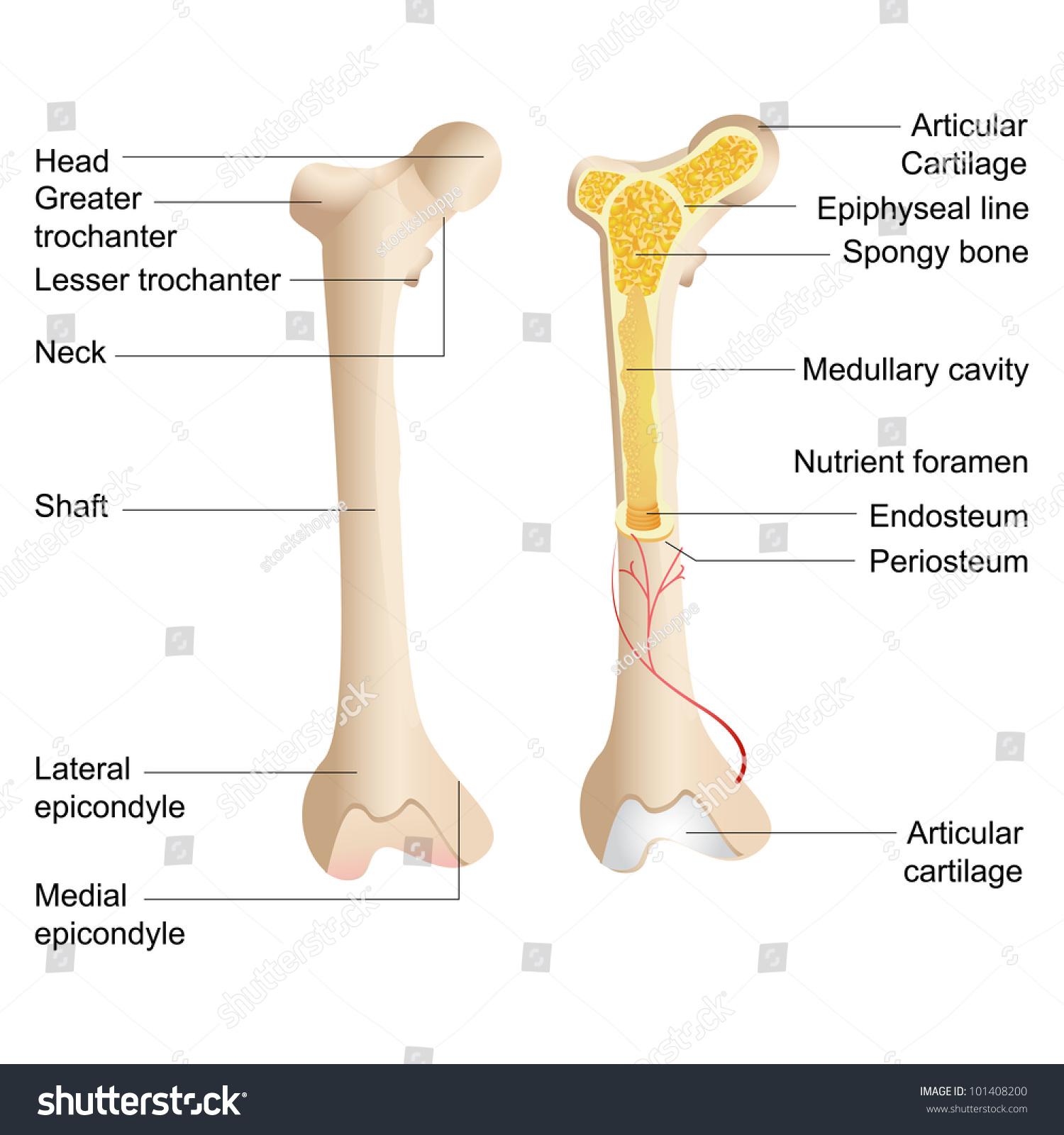 human bone structure diagram jeep cj dash wiring vector illustration anatomy stock