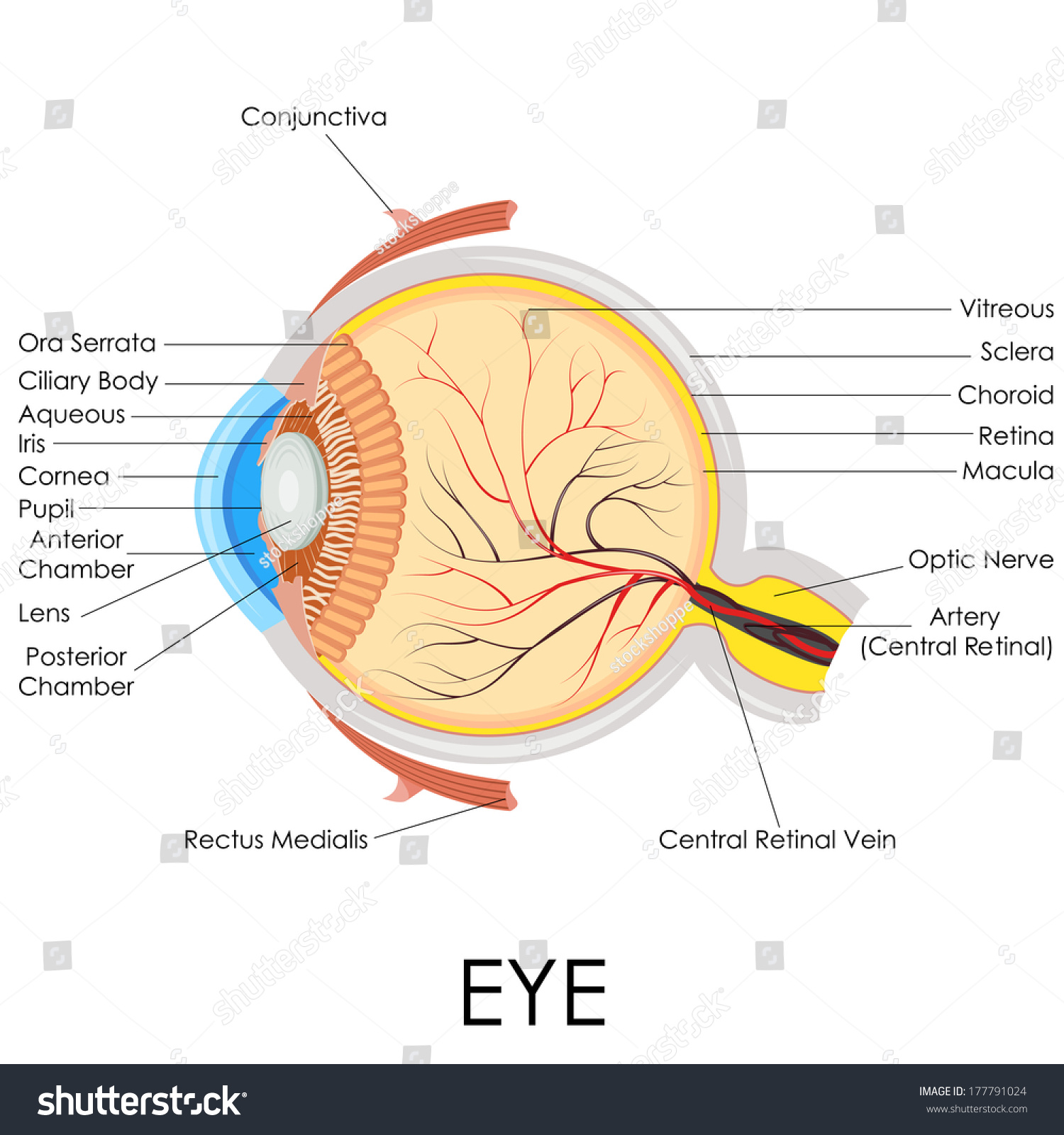 hight resolution of vector illustration of diagram of human eye anatomy