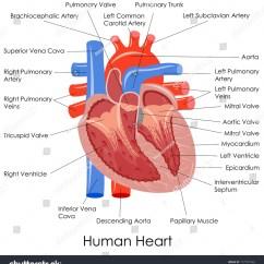 Vintage Red Real Heart Diagram Lutron Grafik Eye 3000 Wiring 3d Human Free Engine Image For User