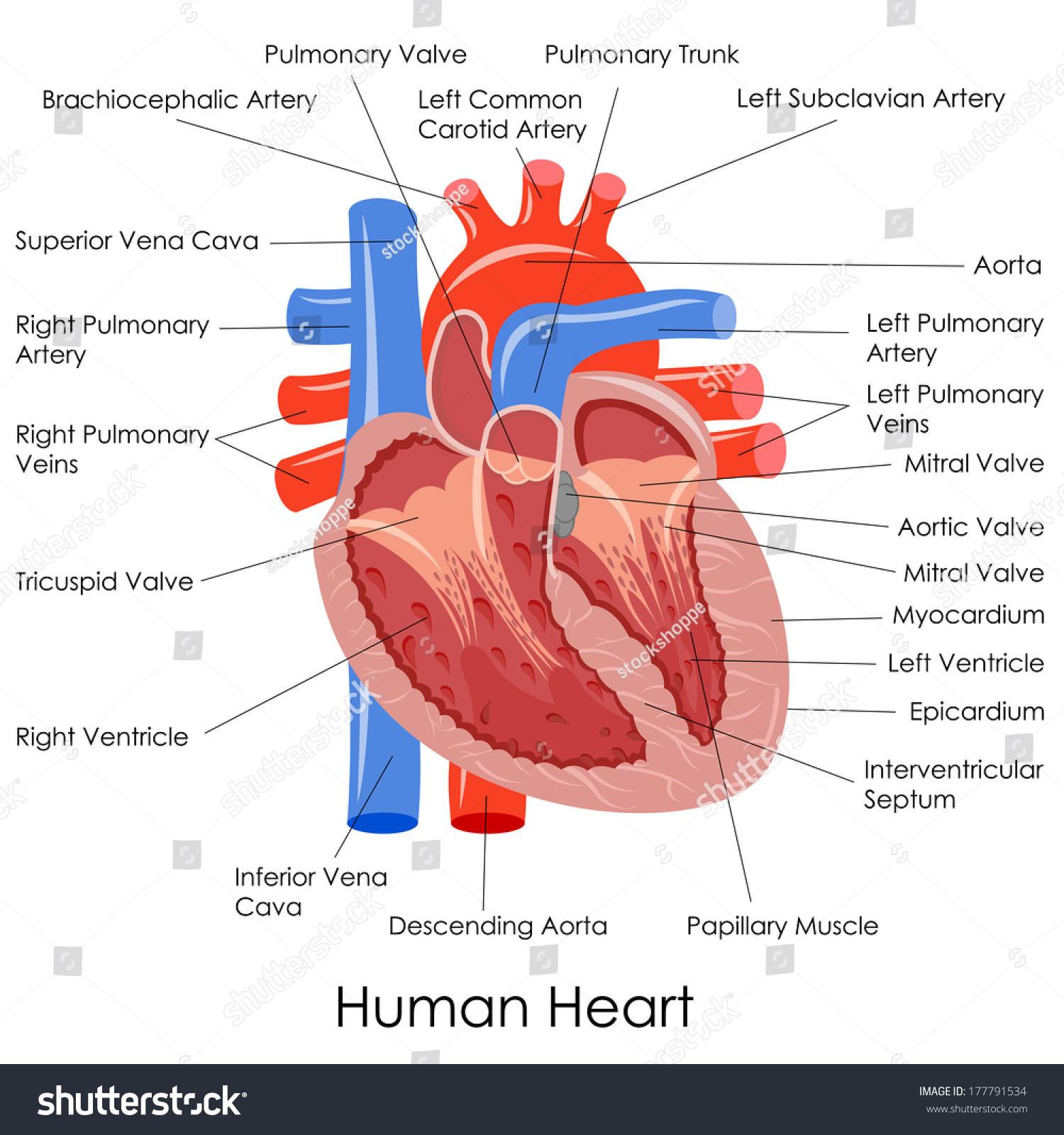 hight resolution of vector illustration of diagram of human heart anatomy