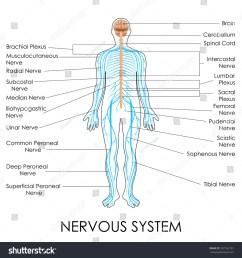 vector illustration of diagram of nervous system [ 1500 x 1600 Pixel ]