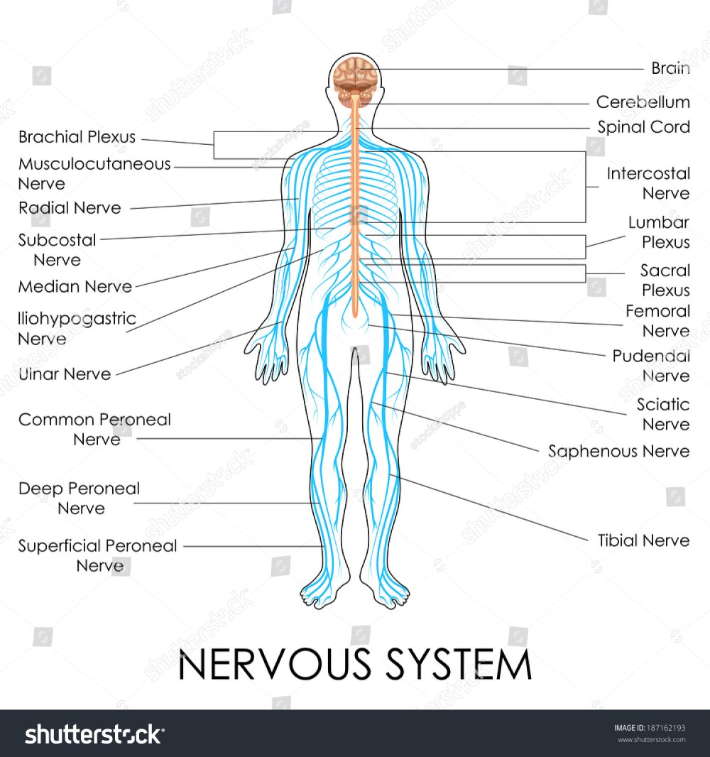 medium resolution of vector illustration of diagram of nervous system