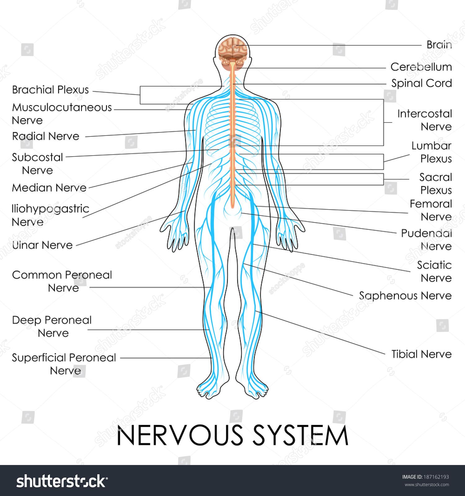 hight resolution of vector illustration of diagram of nervous system